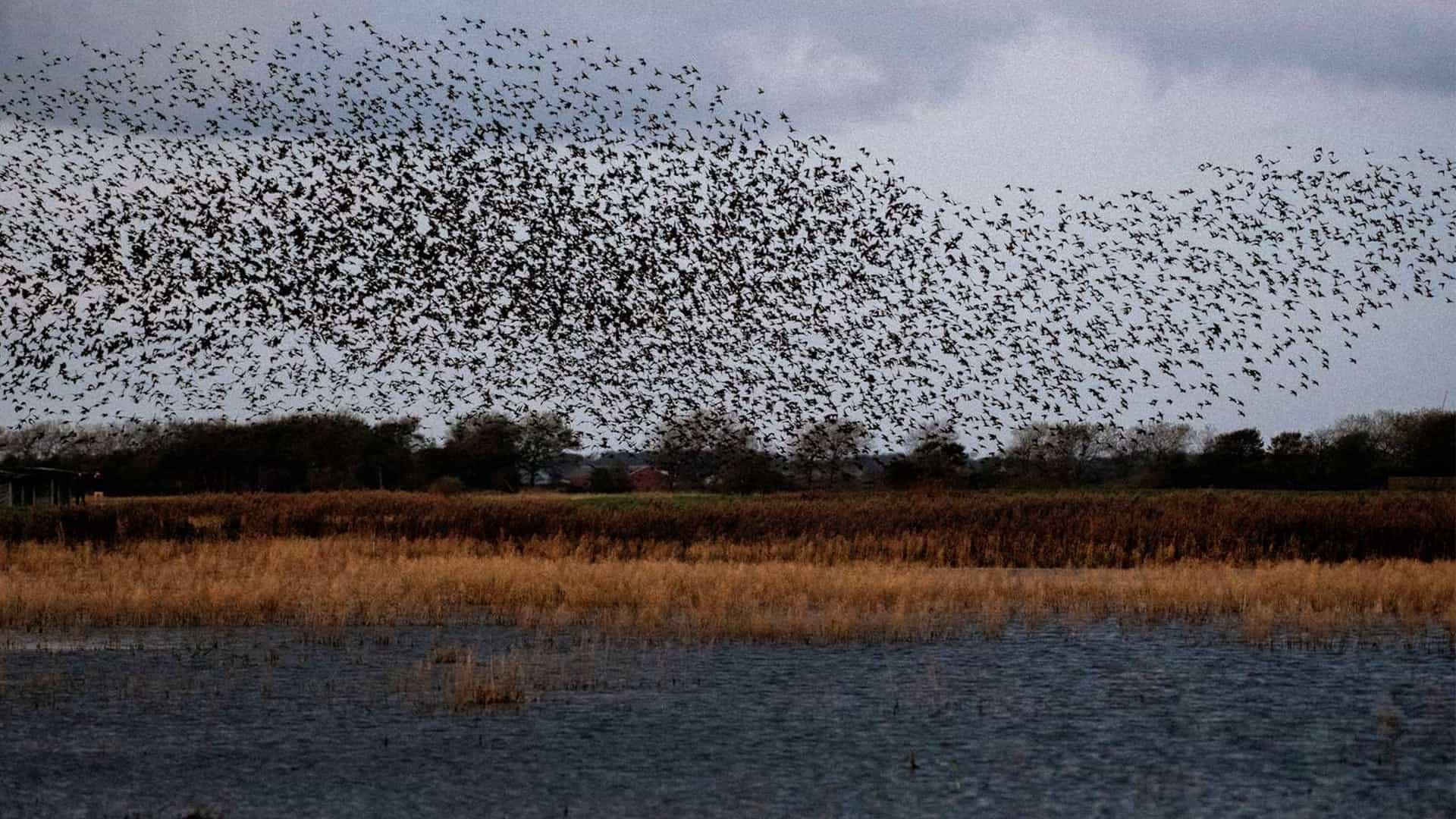 marsken fugle sort sol